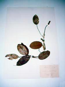 Erbario Amidei: Potanogeton Najadaceae, Biblioteca Guarnacci, Volterra.