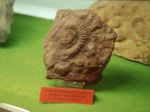 Ammoniti e belemniti conservate nel rosso ammonitico, Giurassico inferiore, Gruppo Mineralogico e Paleontologico di Fornaci di Barga.