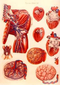 """Tavola XII dei """"Viscera"""" di Paolo Mascagni, Museo di Anatomia Umana del Dipartimento di Morfologia Umana e Biologia Applicata dell'Università degli Studi di Pisa."""