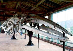 Complete skeleton of Blue Whale, Museum of Natural History and of the Territory, Calci.