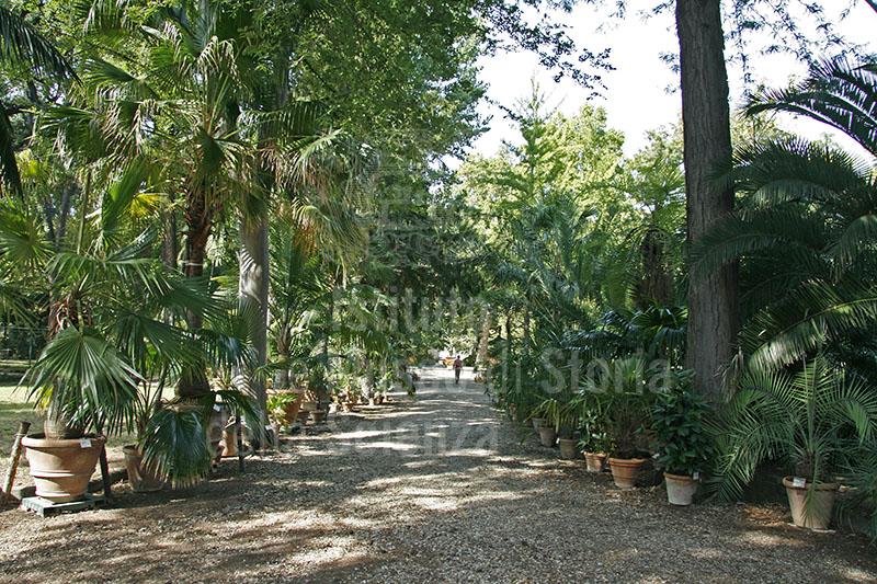 """Orto Botanico """"Giardino dei Semplici"""", Firenze: viale delle Palme."""