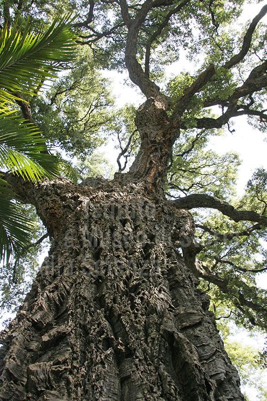 """Esemplare di Quercus suber L. (sughera), Orto Botanico """"Giardino dei Semplici"""", Firenze."""