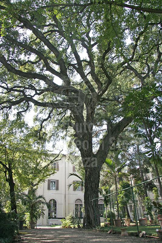 """Esemplare di Quercus suber L. (sughera) nell'Orto Botanico """"Giardino dei Semplici"""", Firenze."""