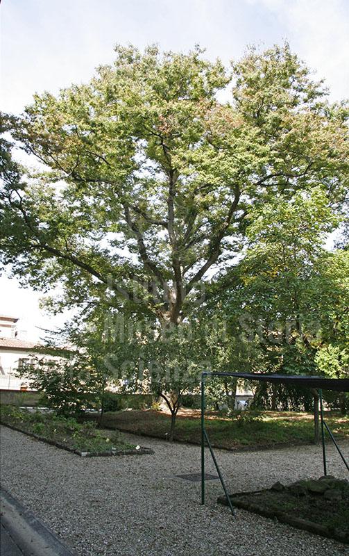 """Esemplare di Zelkova serrata Thunb. (olmo giapponese) nell'Orto Botanico """"Giardino dei Semplici"""", Firenze."""
